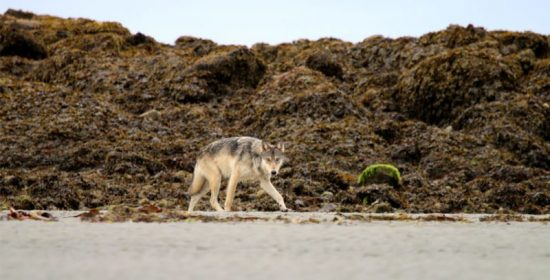 anecdotes guesses no justification for killing wolves