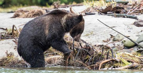 letter protection of grizzly bears should be strengthened in the expansion of the species at risk act