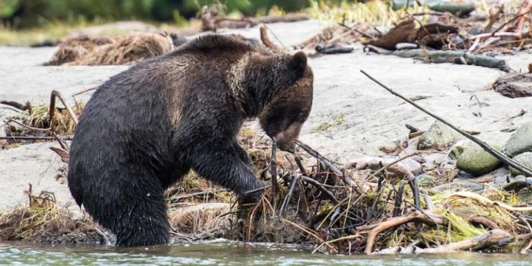 Letter: Protection of grizzly bears should be strengthened in the expansion of the Species at Risk Act