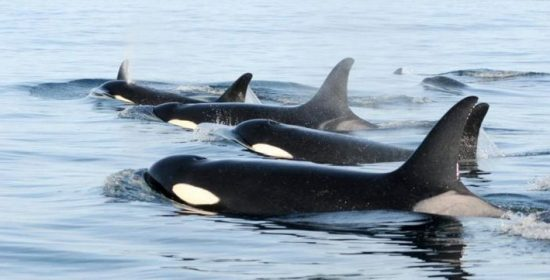 raincoasts misty macduffee speaks with cfax about endangered killer whales