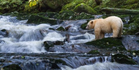 an ordinary day with spirit bears
