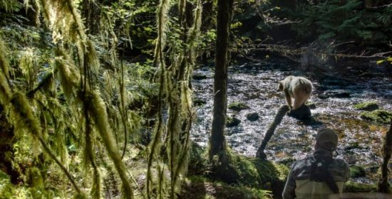bears and big news in the great bear rainforest