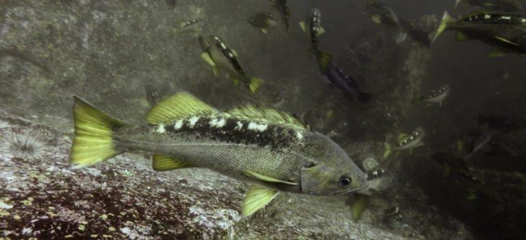 CCIRA and Hakai collaborate on rockfish surveys.