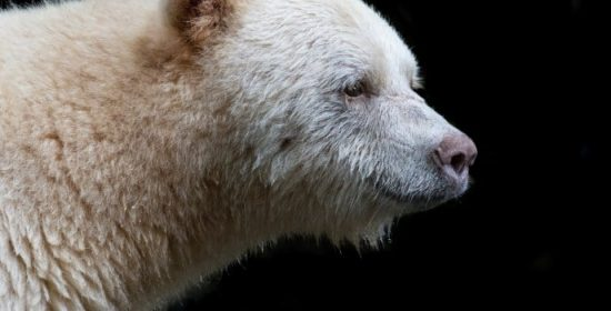 one week left in spirit bear tour giveaway