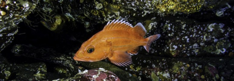 Rockfish research: key results and potential management actions