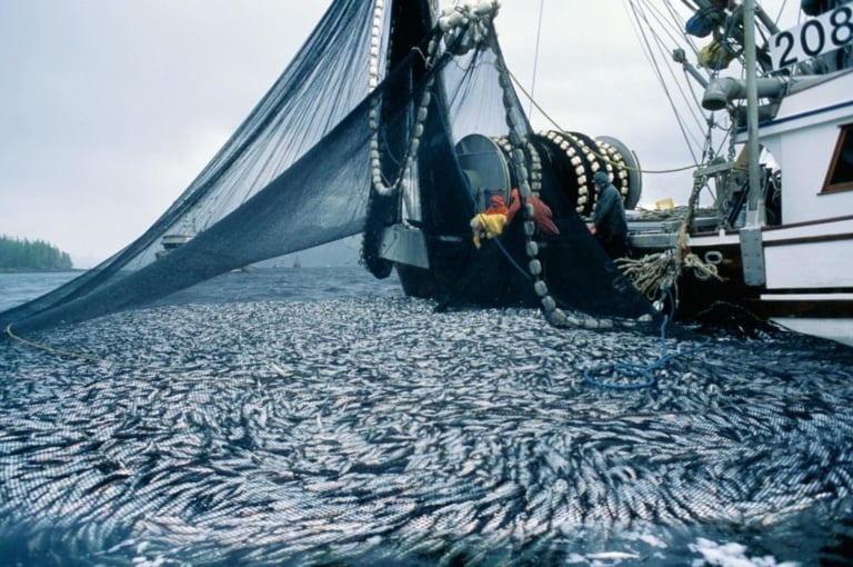 Conservation win: herring roe fishery suspended