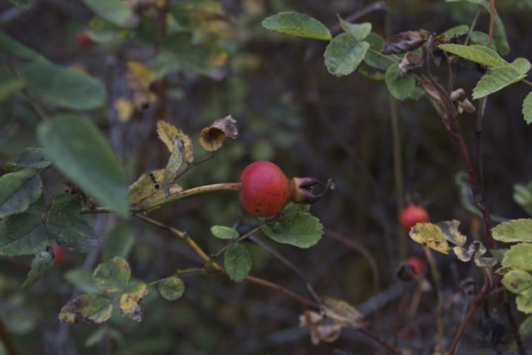 Wild Rose Hip Tea Blends and Jam | Facilitated Discussion