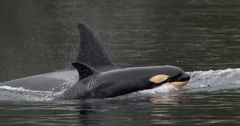 Conservation groups put ministers on notice over Southern Resident killer whales