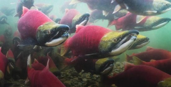 raising the bar on fisheries certification and sustainably harvested salmon