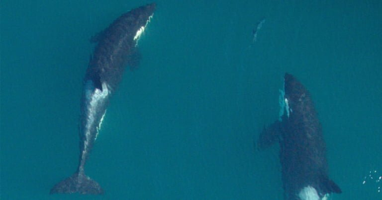 "Government declares ""imminent threat"" to survival of Southern Resident killer whales"