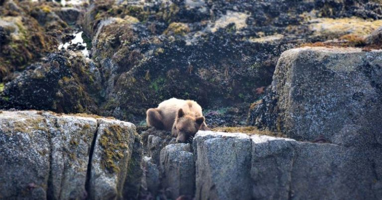 Of coastal carnivores and conservation