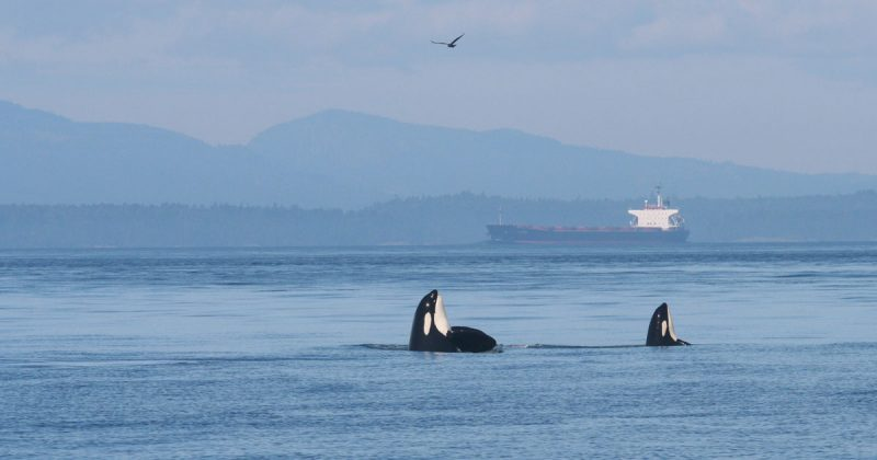 still no threat reduction measures for endangered killer whales