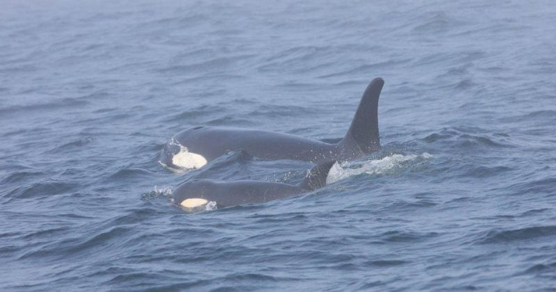 southern resident killer whales are on the precipice
