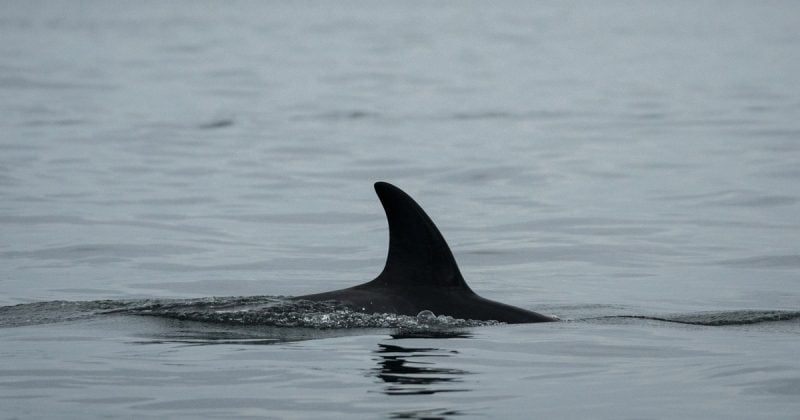 chinook salmon 74 killer whales and the future of the salish sea