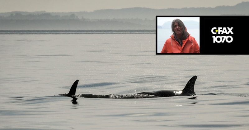 misty macduffee joins adam sterling on cfax 1070 to discuss washington states billion dollar plan to aid killer whale recovery