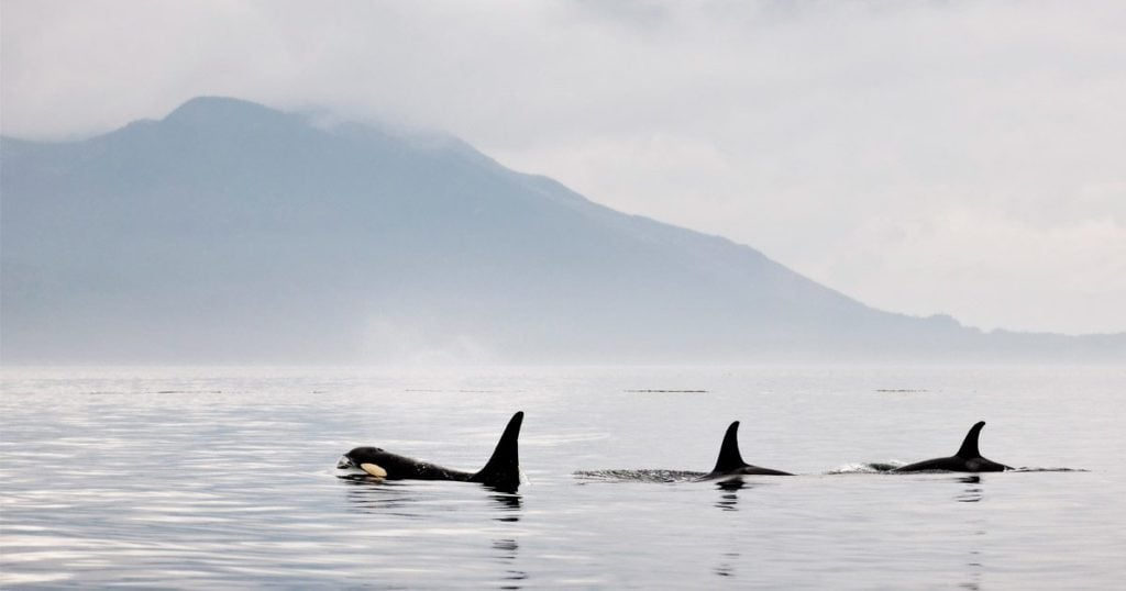 southern resident killer whales need more than luck