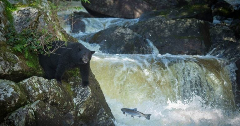 Diversity of salmon species a necessary metric to understanding how bears feed