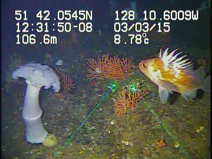 Groundfish chasing the light for science