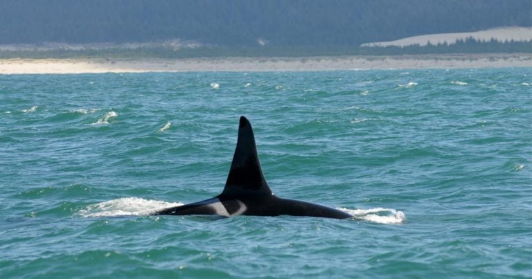 No half measures for Southern Resident killer whales