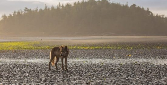 bcs coastal wolves elusive and worthy of protection