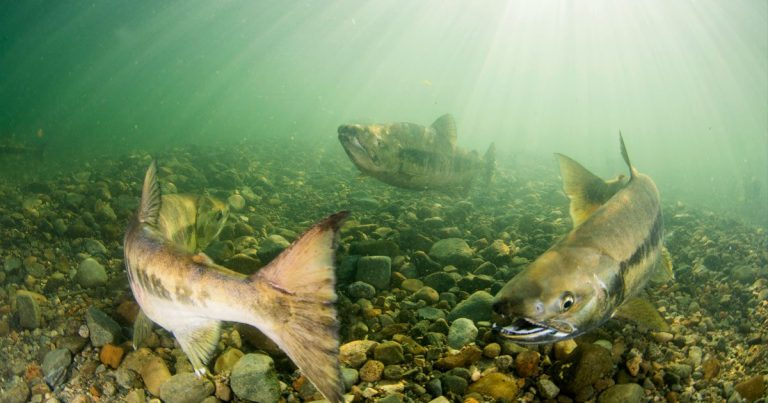 Approval of Trans Mountain expansion puts Fraser River salmon and Salish Sea estuaries at risk