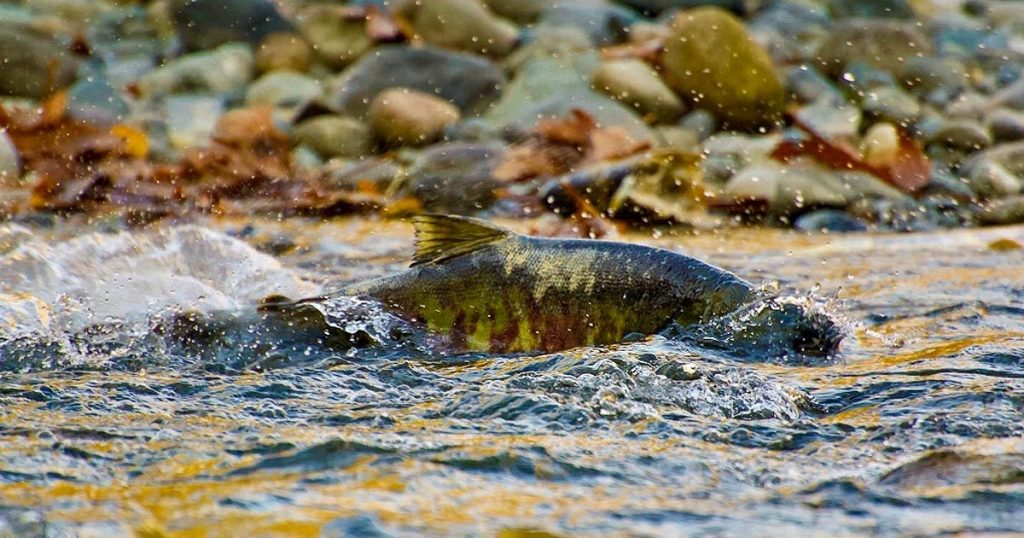 finding communities in salmon conservation