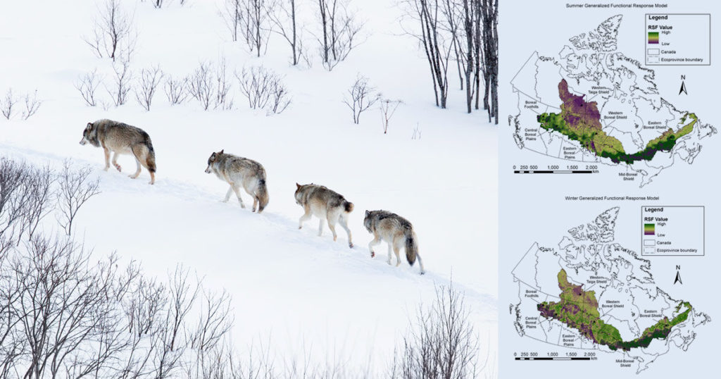ecology and evolution functional response of wolves to human development across boreal north america