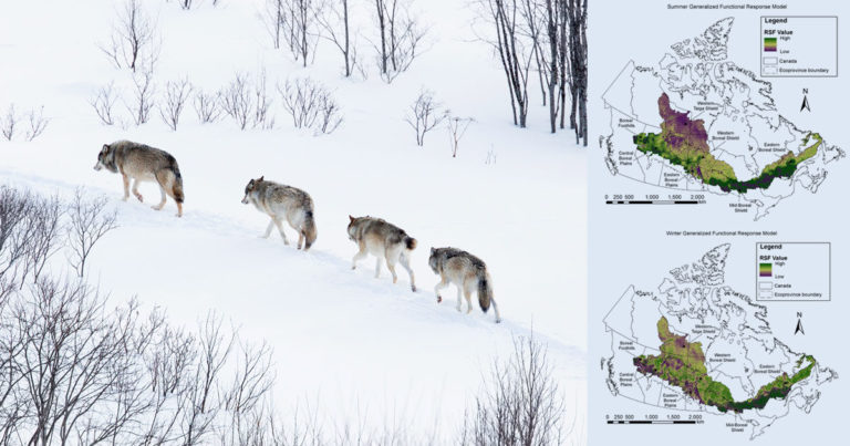 Ecology and Evolution: Functional response of wolves to human development across boreal North America