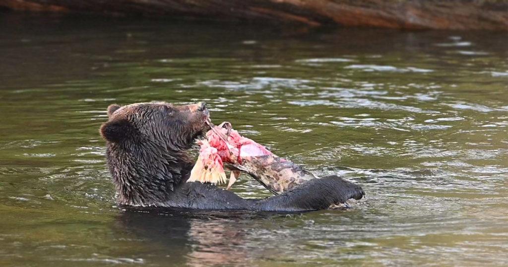 where bears fish and humans roam