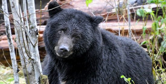 problem humans and the ecology of bear human conflict