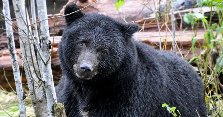 Problem humans and the ecology of bear-human conflict