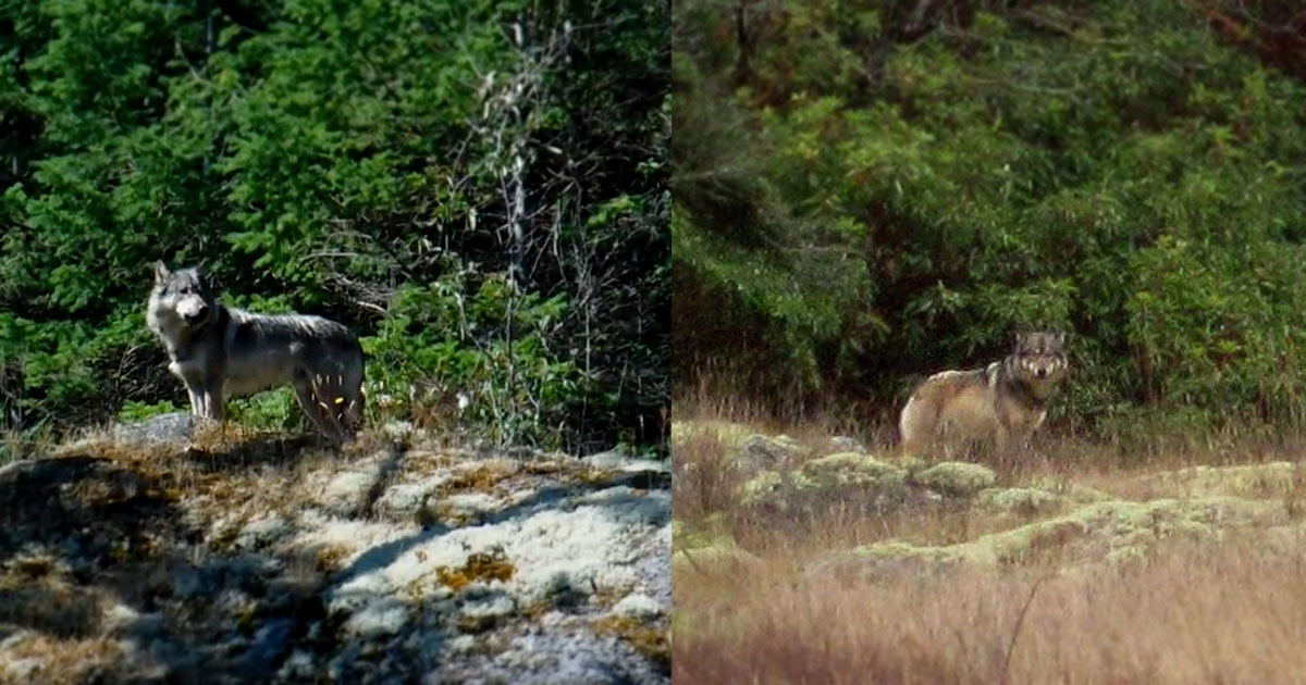 staqeya the lone wolf of discovery island killed by trophy hunter