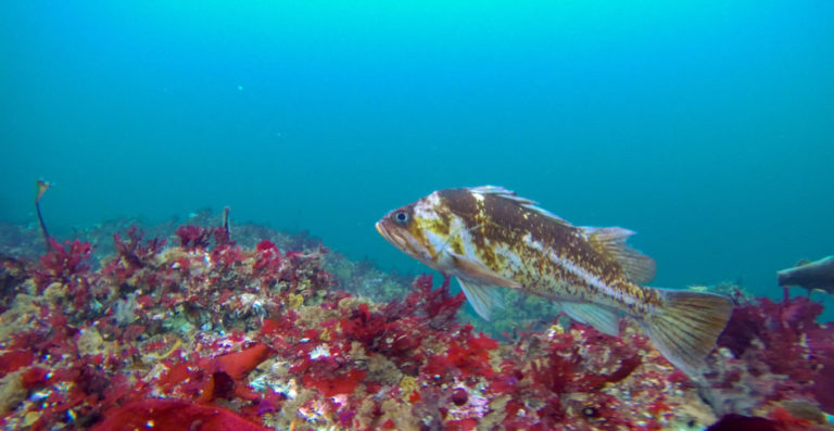 Five things you should know about rockfish and marine protection