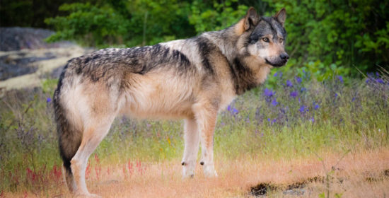 its time to take action for wolves in british columbia