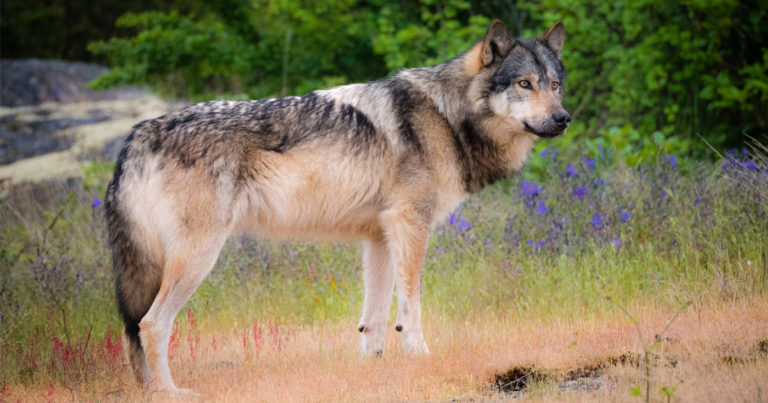 It's time to take action for wolves in British Columbia