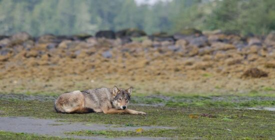 help end recreational culling of wolves