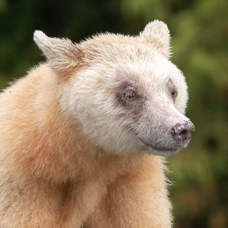 New research shows rare Spirit bear needs more protection