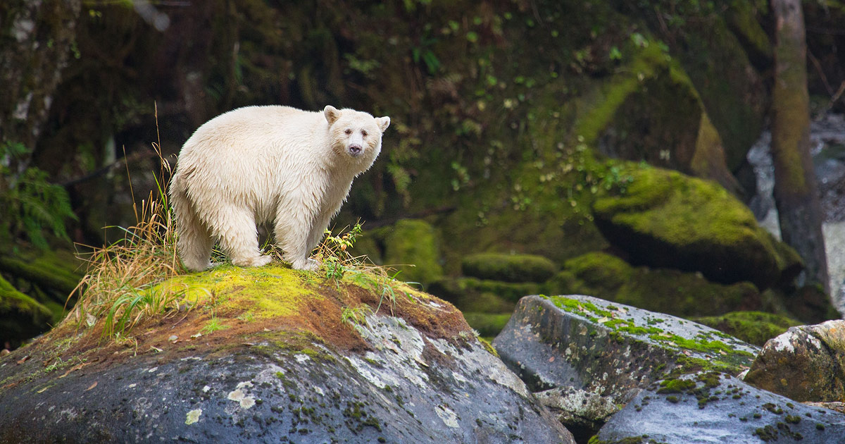 new study reveals rarity of the spirit bear and gaps in their protection in the great bear rainforest