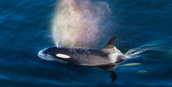 raincoast explores killer whales in upcoming coastal insights program
