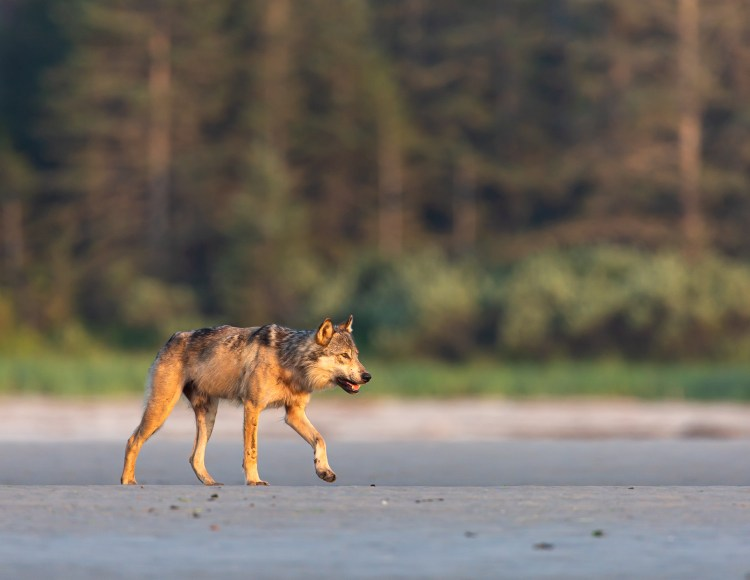 Space available on 2020 wolf expeditions