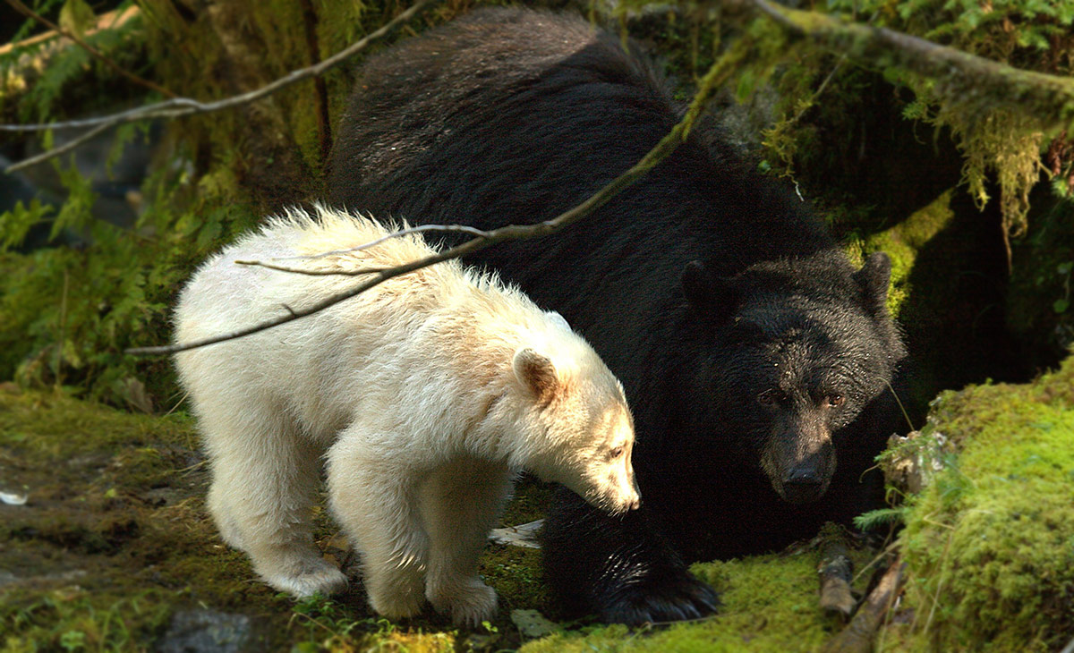 spirit bears are rarer and less protected than we thought
