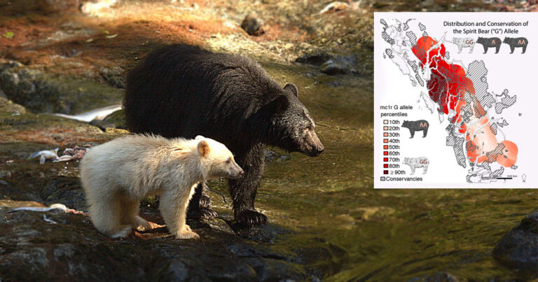 Study: Spatial patterns and rarity of the white‐phased 'Spirit bear' allele reveal gaps in habitat protection