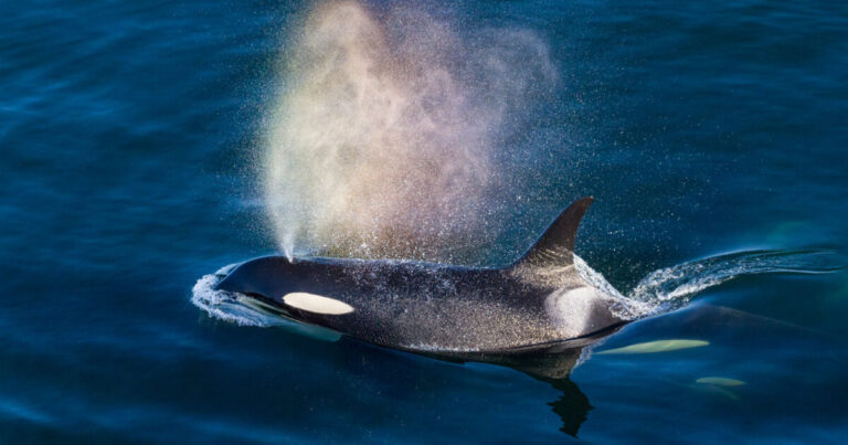 Terminal 2 Backgrounder: Impacts on Southern Resident killer whales