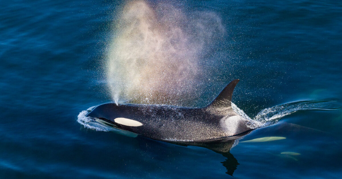 terminal 2 backgrounder impacts on southern resident killer whales