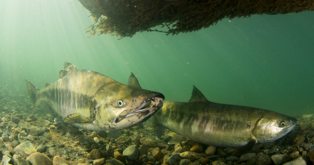 terminal 2 backgrounder impacts to fraser chinook salmon
