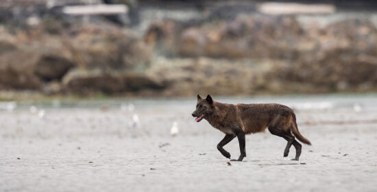 wolves in bc need our support