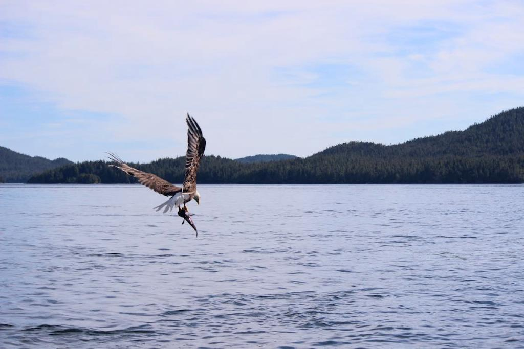 An eagle swoops up from the water with a fish in its talons and directs itself away from the camera. There are low, green mountains in the distance and the sky is blue and cloudy.