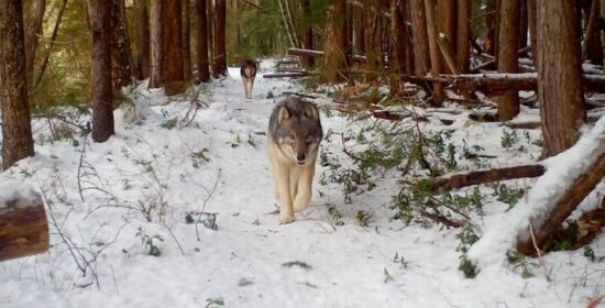 new study finds no evidence to support killing wolves
