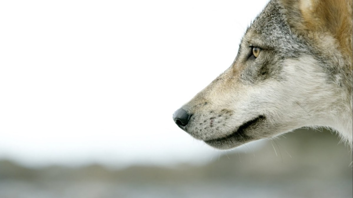 raincoast launches wolf school in partnership with the wolf conservation center