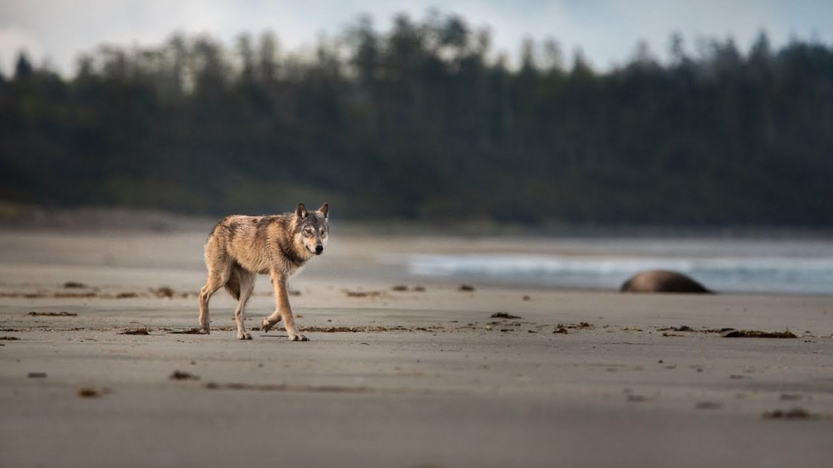 wolf school 3 what can science tell us about wolves of coastal british columbia and beyond